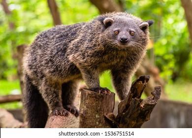 Binturong or philipino bearcat walking on the trees, Palawan, Philippines