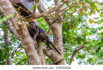 Binturong is reasting on big tree in open zoo of Thailand.