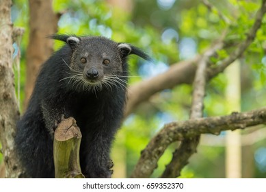 A Binturong sit on the tree branch.