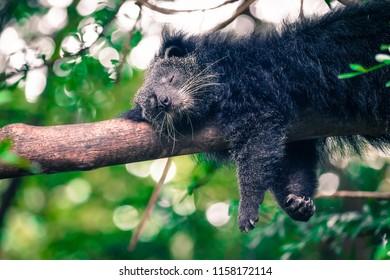 binturong sleeping on the tree with dramatic tone