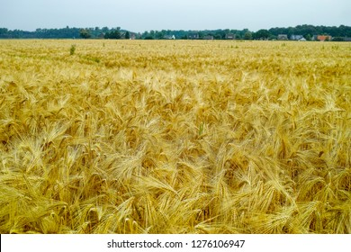 Durum Wheat Images, Stock Photos & Vectors | Shutterstock
