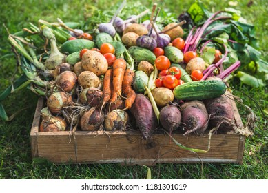 Bio food. Garden produce and harvested vegetable. Fresh farm vegetables in wooden box - Shutterstock ID 1181301019