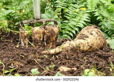 bio parsnips