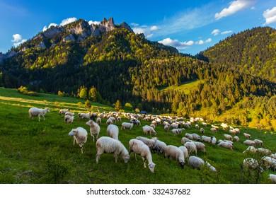 Bio sheep, Pieniny