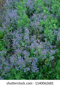 biodynamic vegetable garden with broad  beans and Borage plant  full of blue star shaped  flowers  during the spring