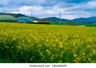Biogas production in the middle of oilseed rape, production of biodiesel - ecological fuel of new age.