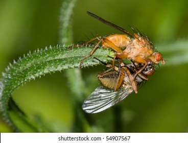 Biological control: Robberfly eating another fly, on a leaf of Stickyweed (Galium aparine).
