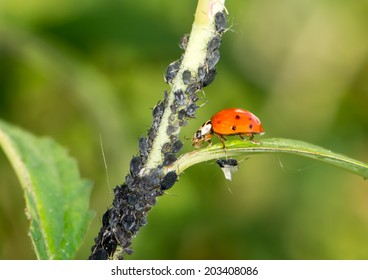 Biological pest control - ladybug eating lice
