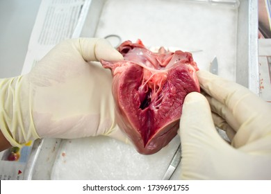The Biological student was splaying out the dissected pig heart to reveal the internal structure of the pig heart for study mammalian heart at university laboratory. Dissected raw pig heart on hand.