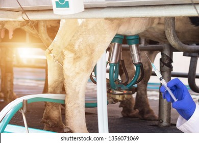 Biologist holds a syringe against the background of milking cows milk, the concept of nitrates and antibiotics in cow's milk, microflora