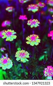 Bioluminescent (garden flowers in UV-light)