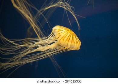 Bioluminescent Japanese sea nettle jellyfish in dark water