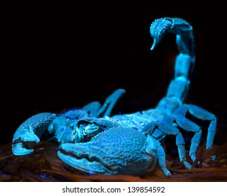 Bioluminescent scorpion under ultraviolet light at a zoo.
