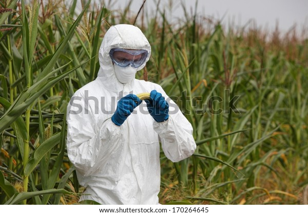 biotechnology engineer examining  corn cob on field