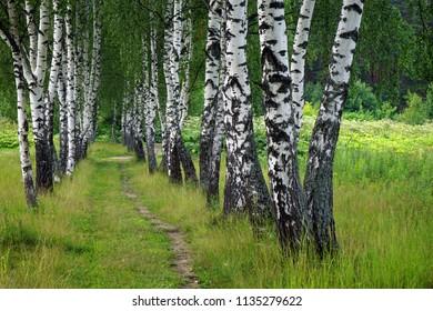 Birch alley in Russia