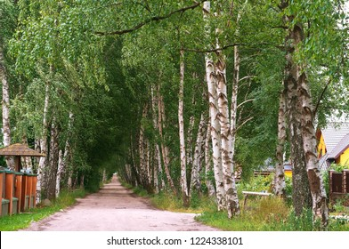 birch alley, white-trunked birch grove, birch trees on the roadsides