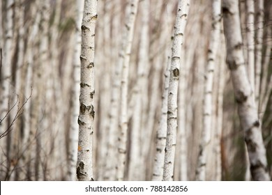 Birch autumn forest. Betula pendula (Silver Birch). Dense forest. White birch trees in row. Country Slovakia, Europe.