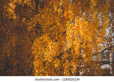 Birch at autumn yellow leaves