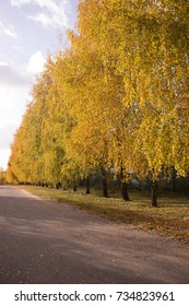 a birch avenue in the early autumn