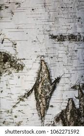 birch bark background close-up