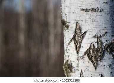birch bark on one side of photo with blurred trees in background