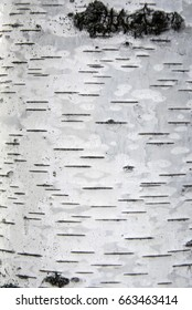 Birch bark. Selective focus
