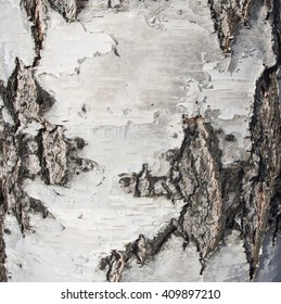 Birch bark texture with cracks and strips