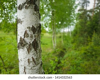 Birch in beautiful green forest landscape. Nature background blur for copy space.