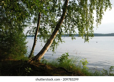 The birch is bending above calm forest lake. Summer vacation in Finland.