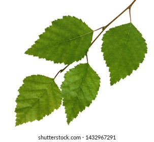Birch branch with fresh green leaves isolated on white background. Foliage.