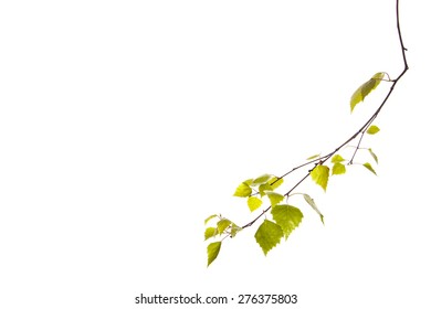 Birch branch isolated on the white background.