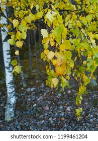 birch branch with leaves