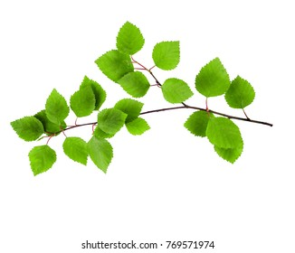 birch branches with green leaves isolated on white background