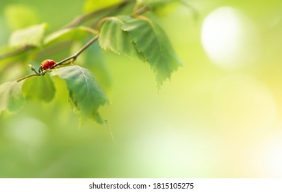 Birch branches with green young juicy foliage and ladybug in sunlight with soft focus outdoors in nature in spring. Gentle fresh spring background with beautiful blurred bokeh and sun glare.