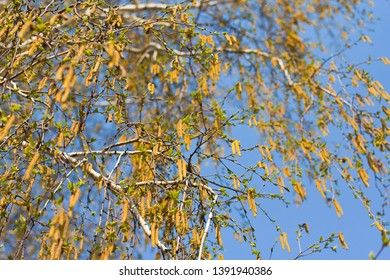 birch branches in spring. blooming birch. pollen allergy. spring in the forest