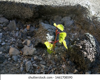 Birch breaks through the asphalt, a photo of a small birch on a background of dirt