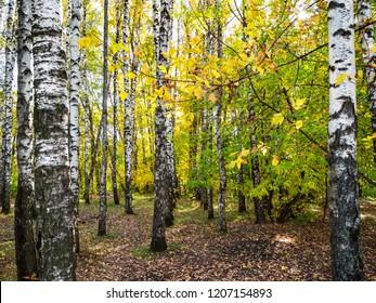 birch copse in autumn forest of urban park