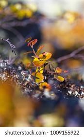 Birch dwarf (Betula nana) in autumn in Ural mountains. Bright autumn colors.