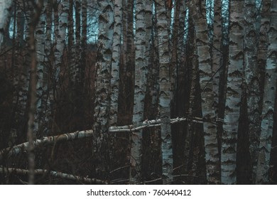 Birch in the evening. Darkness  Misterious forest
