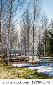 Birch and fir grove in Zaryadye Park in early spring sunny day with a soviet skyscrapper Kotelnicheskaya Embankment Building on the horizon.