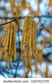 birch flowers in early spring