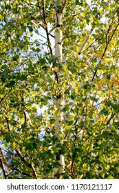 Birch in the foliage. Golden colors of autumn. Russia