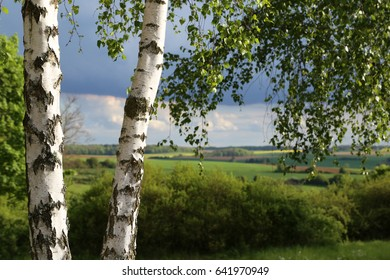 Birch foliage / Leaves of birch in forest