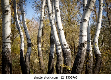 birch in the forest