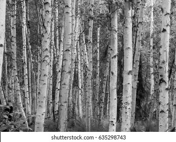 Birch forest abstract white bark of densely growing trees form abstract background image.
