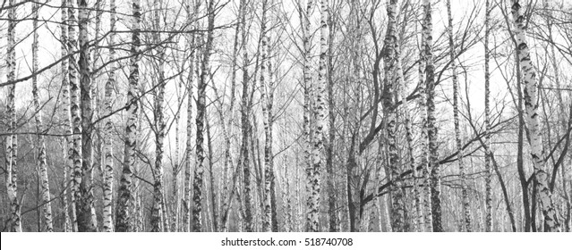 birch forest, black-white photo, autumn landscape, beautiful panorama