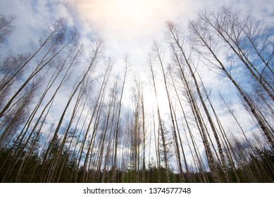 Birch forest from the bottom up view