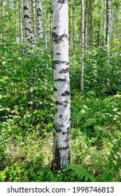Birch forest in bright sunshine on a summer day