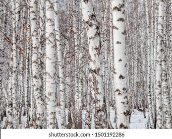 birch forest closeup. wall of birch trunks. textural background for layout. natural landscape in winter. snow and frost