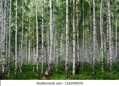 Birch forest at the end of summer
